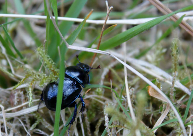 A Bloody Nosed Beetle