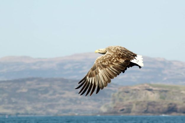 Eagle on Mull