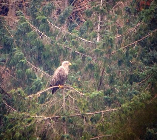 Sea eagle at nest on Mull