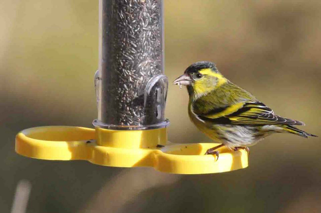 A Siskin bird on a feeder