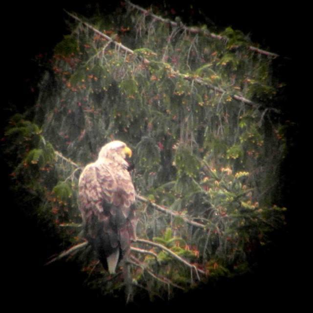White sea eagle on nest