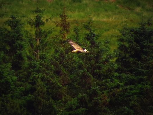 mull eagle in flight picture by melanie milne