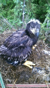 Mull eagle chick