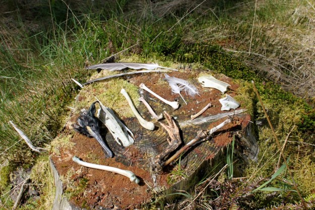 Prey remains from Mull eagle nest