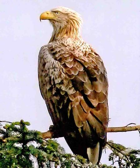 Adult white-tailed eagle (John Clare)
