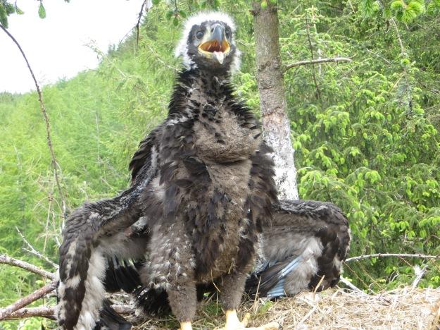 Eaglet June 2015