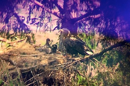 Ardhu eaglets.jpg-550x0