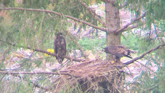 WA chicks in nest