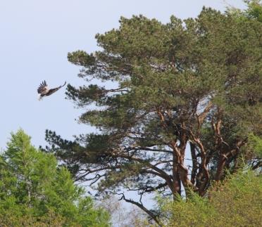 Anna landing in the nest tree
