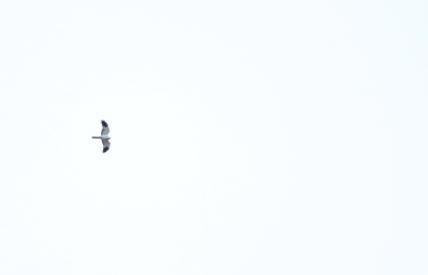 Hen Harrier (Distant)