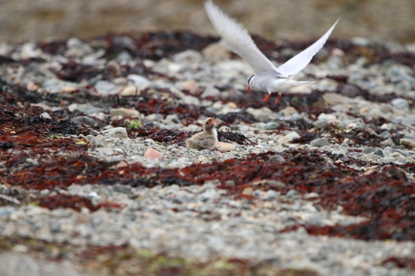 Tern feeding chick