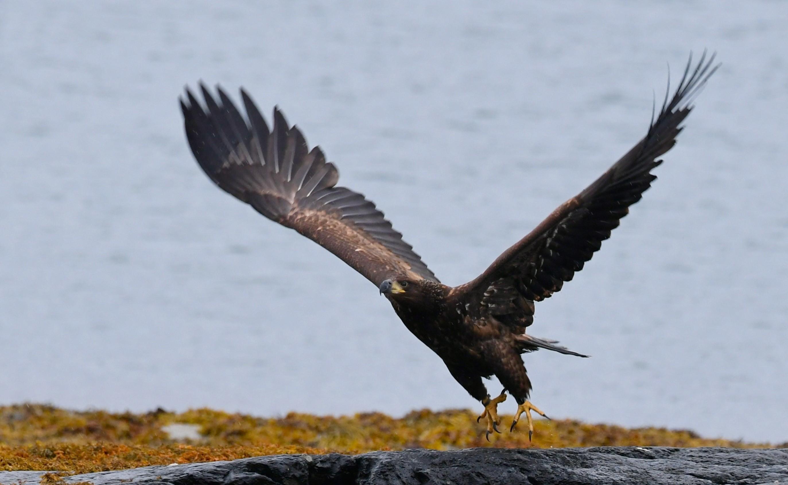 Chick Wingspan brian redpath